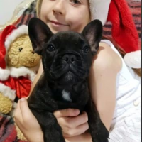 Pedigree French bulldogs puppies ready to go home